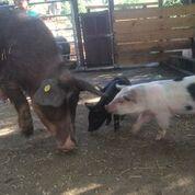 porcs corses