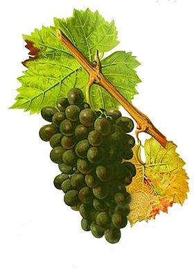 corsican-grape-sciaccarello
