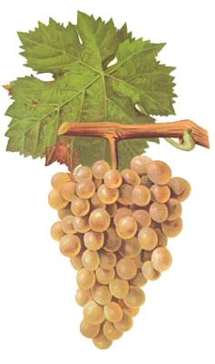 vermentino-grape